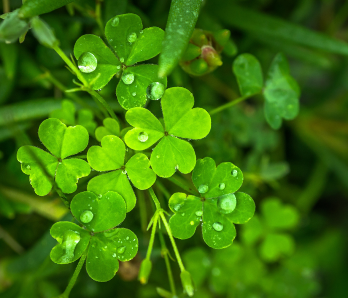 The Significance of the Shamrock